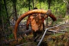 Sốt săn ngà voi ma mút để bán cho người TQ