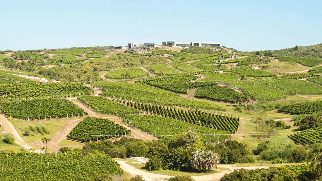 vườn nho,rượu nho,Uruguay