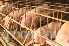 Damages from swine fever reach VND3.6 trillion