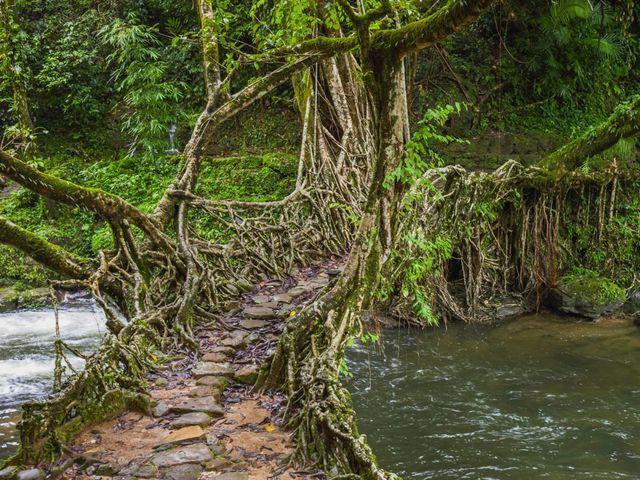 'Cây cầu sống' đan bằng rễ cây, tồn tại cả trăm năm vẫn dùng tốt