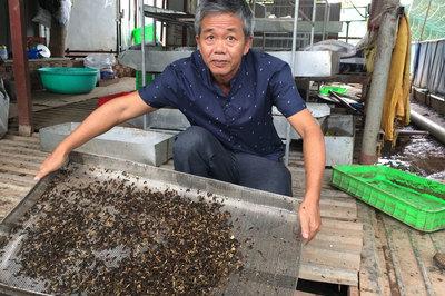Chuyện lạ: Nhặt rác bẩn nuôi loài ruồi đẻ ra thứ trứng 'vàng'