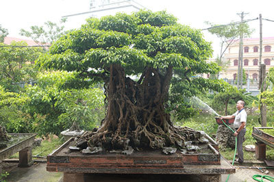 Sanh cổ có rễ như củ nhân sâm, khách trả 100 cây vàng chủ nhân vẫn lắc đầu