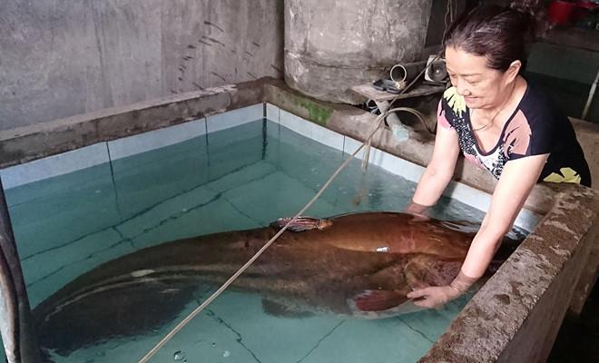 Cá leo 'khủng' nặng hơn 80kg, dài hơn 2m sa lưới ngư dân