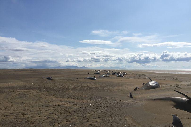 Hình ảnh hàng chục con cá voi chết khô trên bãi biển