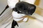 Cá mập tí hon có khả năng tự phát sáng hút con mồi
