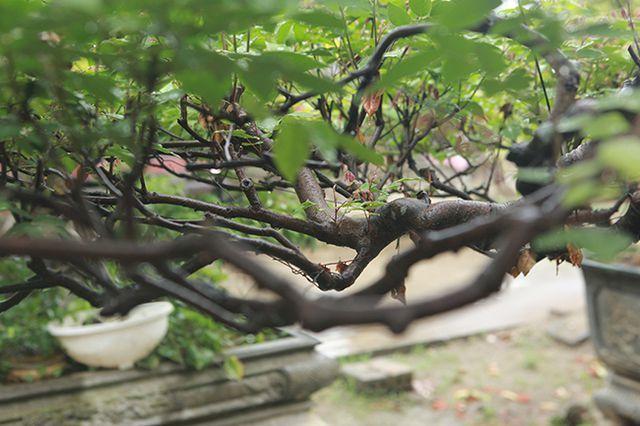 Cây khế bỗng có giá lên đến 10 cây vàng nhờ hình dáng giống con nghê