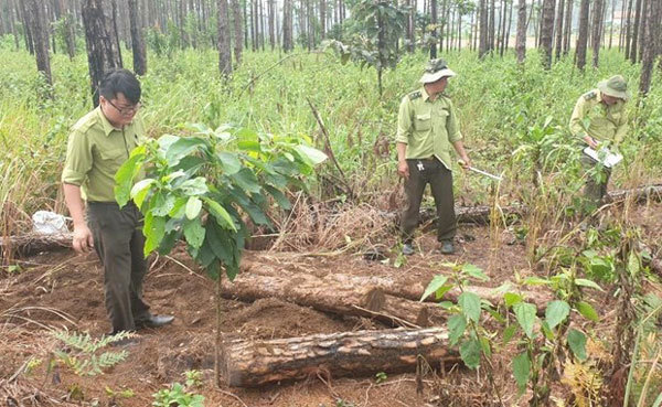 Lam Dong police discover pine forest destruction