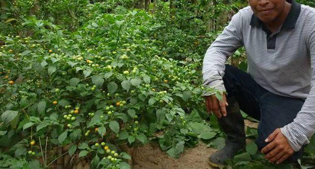 Loại quả bé như hạt đậu, mọc hoang giá hơn nửa tỷ đồng/kg