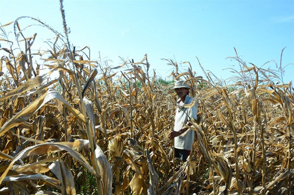Rice, maize hit by serious drought