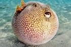 Ăn vào có thể chết trong tích tắc, lý do loại cá này vẫn có giá 'trên trời'
