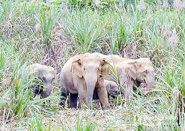 Nghe An to spend more than $800,000 on elephant conservation