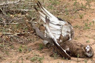 Xem giải cứu đại bàng 'khủng' bị rắn siết cổ
