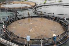 Con cá tầm to như cột nhà trong lòng hồ thủy điện Sơn La