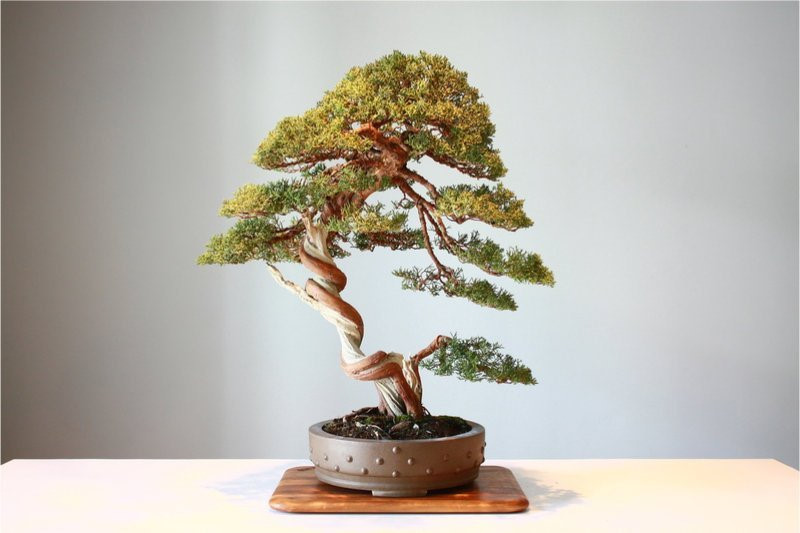 Lý giải nguyên nhân cây cảnh bonsai lại có giá trên trời