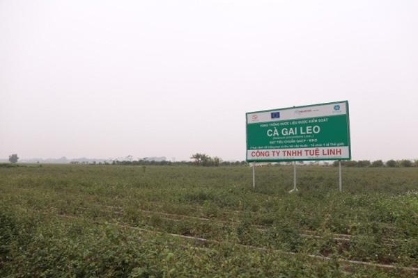 Vùng trồng cà gai leo đạt chuẩn quốc tế ở Việt Nam có gì đặc biệt?