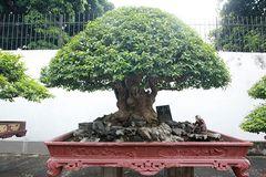 Bằng lăng hình nấm 'khổng lồ' giá hàng tỷ của đại gia Phú Thọ