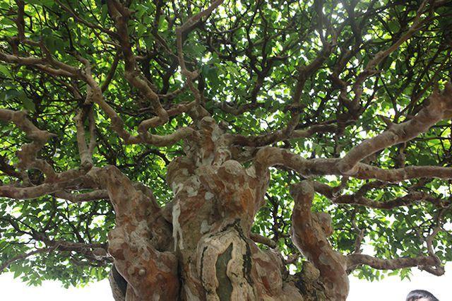 cây cảnh,cây cảnh tiền tỷ,chơi cây