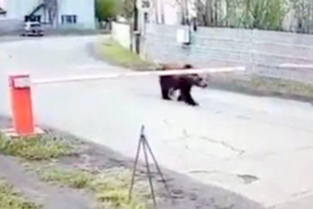 Gấu hoang bị bắn chết vì liên tục 'đột nhập' vào sân bay
