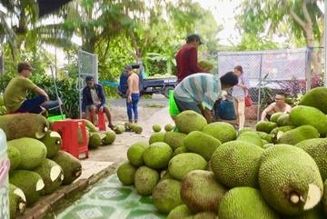 Mít Thái bất ngờ tăng giá 52.000 đồng/kg: Thương lái đổ về vườn tranh mua