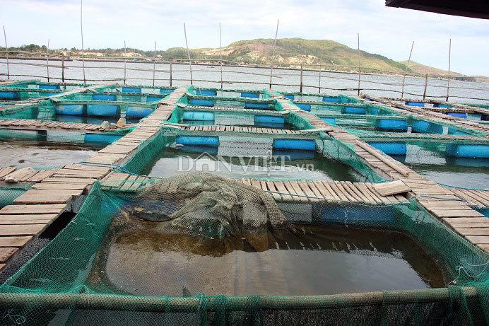 5.000 con cá bớp ở đầm Cù Mông hễ thấy người là 'nhõng nhẽo' đòi ăn