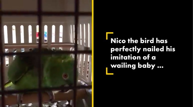 Video vẹt giả tiếng khóc em bé như thật