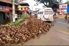 Vịt tuần hành gây tắc đường