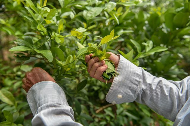'Đột nhập' vườn chanh tứ quý trồng trên gốc bưởi, thu về 5 tỷ đồng/năm