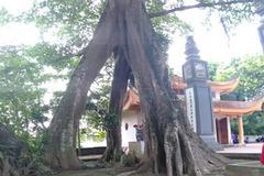 Chuyện lạ về cây đa cổ thụ có 3 gốc 'độc' cạnh đền thờ vua