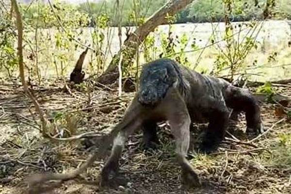 Rồng Komodo ăn tươi nuốt sống cả con khỉ với vài cú ngáp