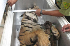 Experts discuss ways to protect tigers
