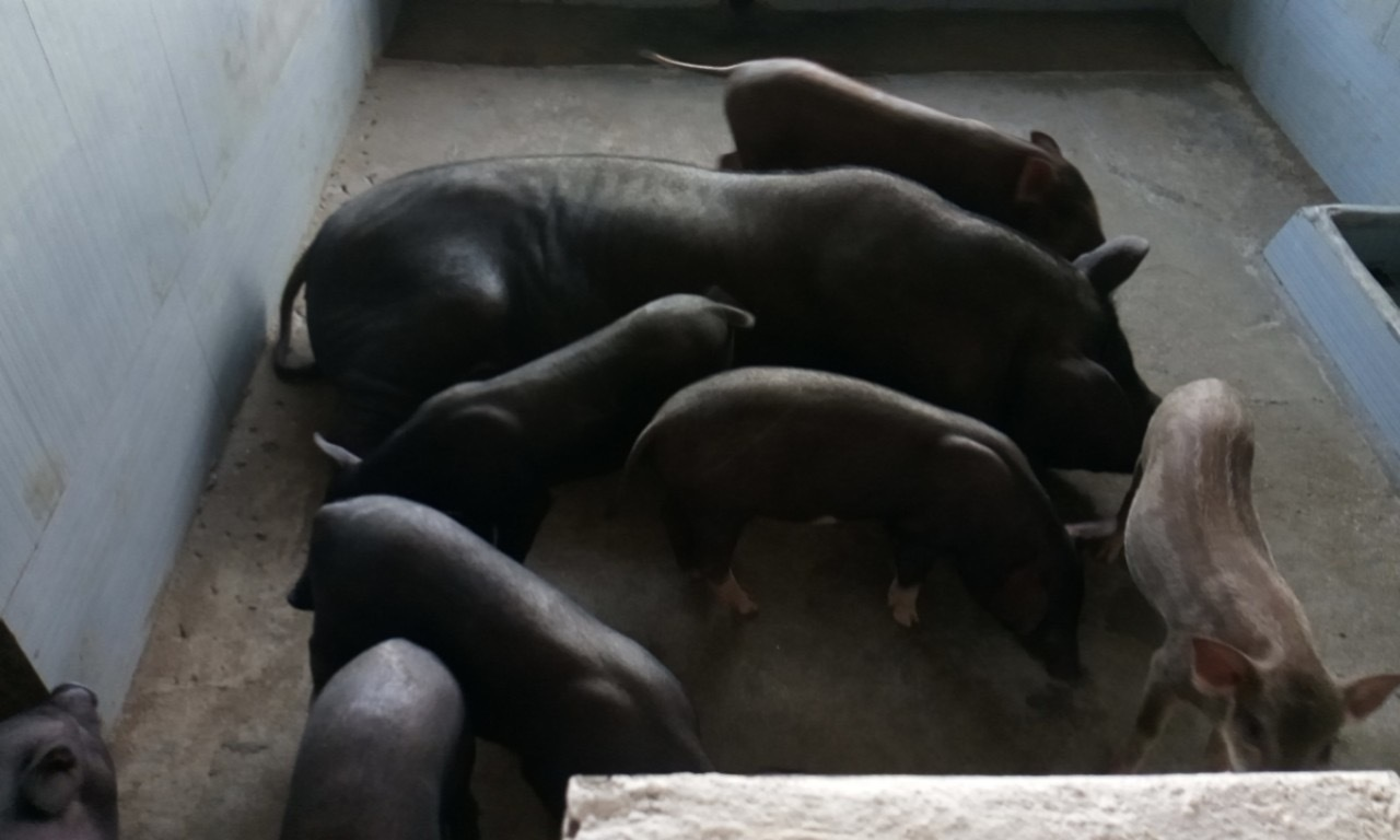 'Mắc màn cho lợn', đàn heo hiếm hoi thoát kiếp nạn chết triệu con