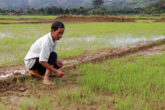 Rice damaged by hydroelectric plant construction