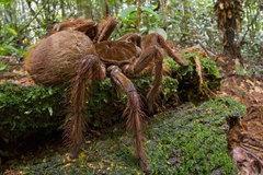 Xem nhện 'quái vật' ra đòn đáng sợ, tóm dính con mồi