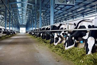 Ăn ít thịt, uống thiếu sữa Việt Nam nuôi thêm trăm ngàn con bò