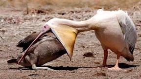 Hành động đáng sợ của loài chim bồ nông