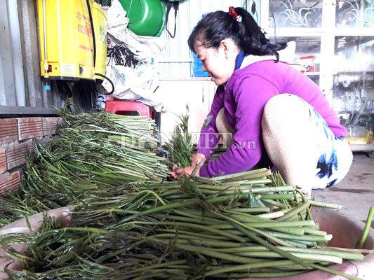 Xưa chống đói, nào ngờ giờ trồng rau dại này có tiền triệu mỗi ngày