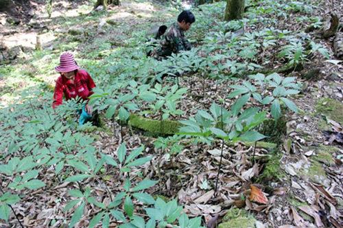 Giàu nhất vùng, tỷ phú Cadong trồng 10ha sâm Ngọc Linh trên rừng