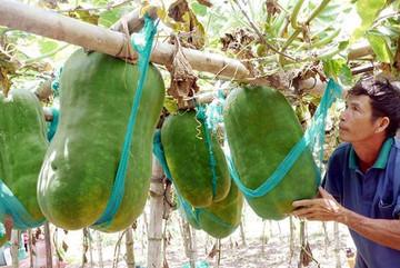 Khu vườn chuyên trồng những quả bí 'khổng lồ' ở Việt Nam
