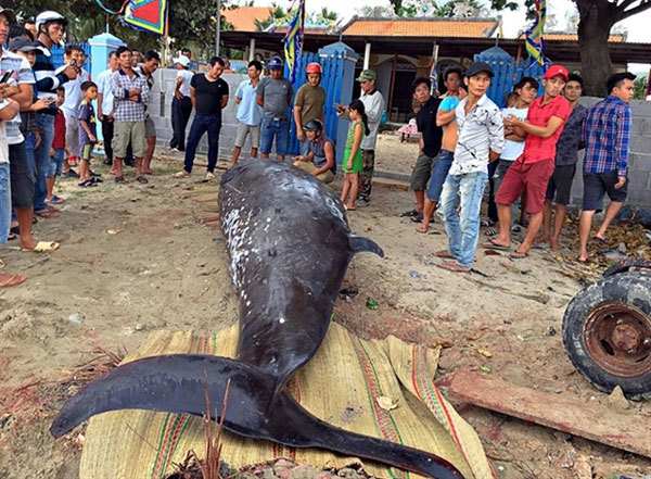 Fishermen buries two-tonne whale washed up on Khanh Hoa beach