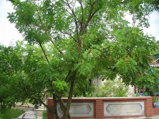 5 loại cây trồng trước nhà đem may mắn, tài lộc vào ầm ầm