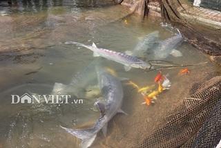 Cá 'tàu ngầm khổng lồ ngồn ngộn giữa lòng hồ thủy điện Sơn La