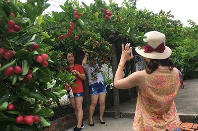 Quả cây lạ, chín đỏ rực làng, khách khắp nơi tìm về thưởng thức