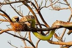 Xem rắn vắt mình trên ngọn cây ăn thịt chim non