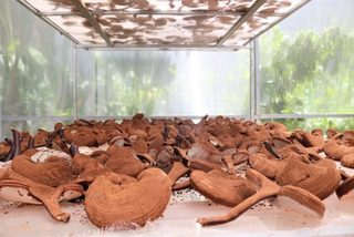 VN farmers use smartphones in cultivation of lingzhi mushrooms