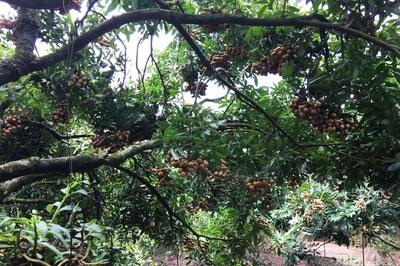 Bao trọn cây nhãn tiến vua hiếm có, tự hái ăn cả mùa quá đã