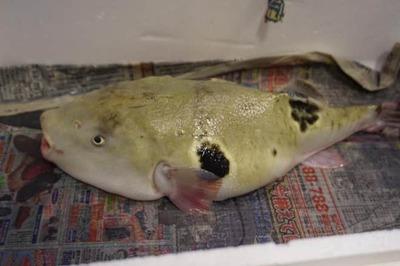 Cá nóc 'kịch độc' thành món ăn đắt đỏ, nhặt phân chim đắt hơn vàng