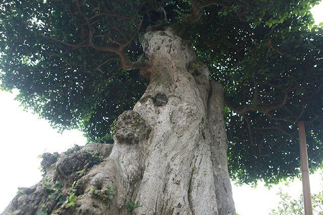 duối cổ,cây cảnh,cây duối