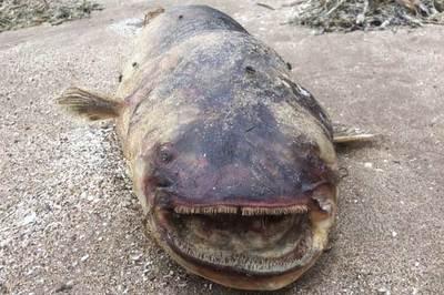'Thủy quái' răng nhọn hoắt dạt bờ sông Volga