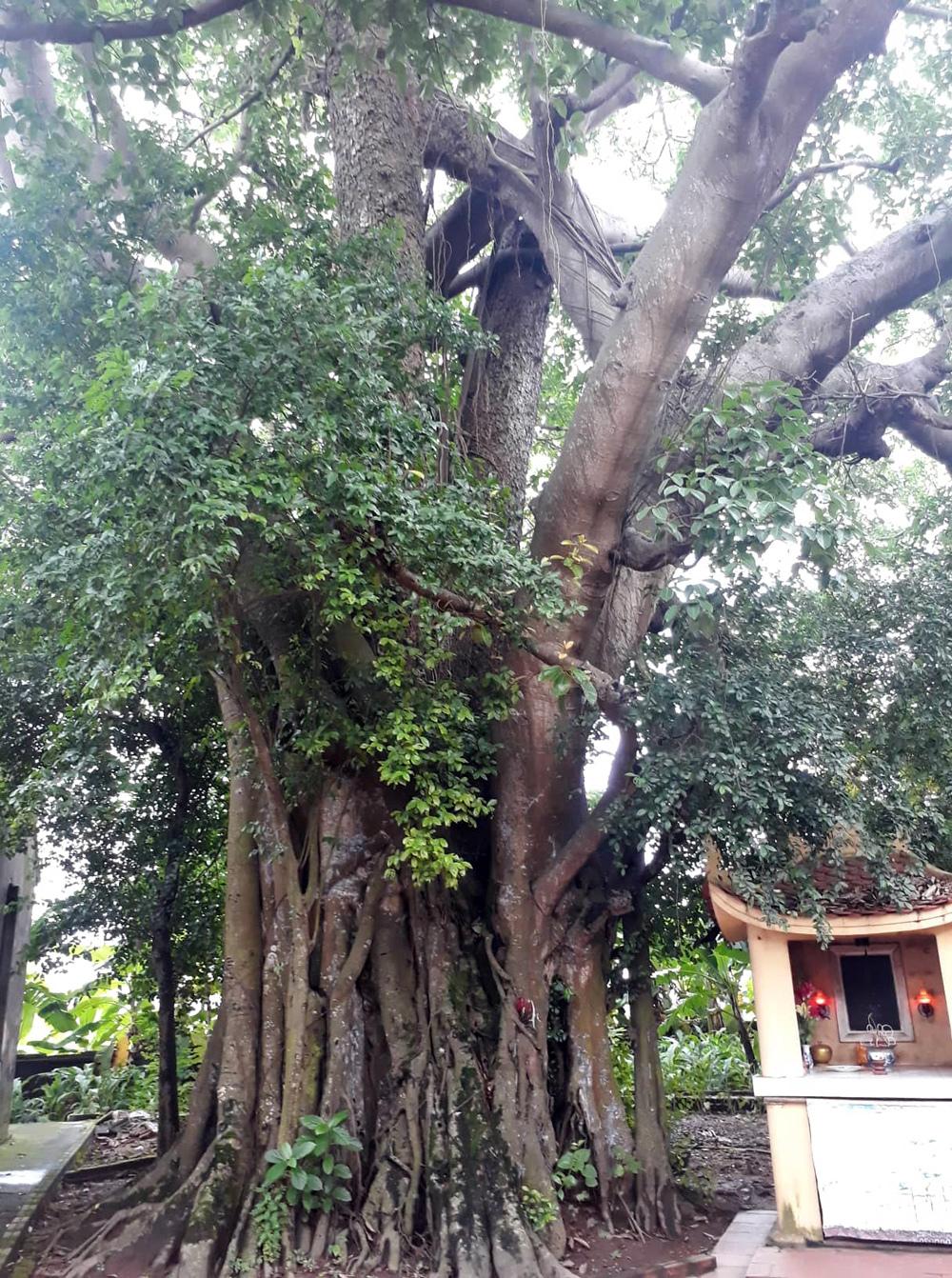 Cây di sản,Vĩnh Phúc