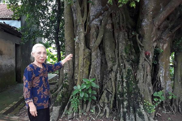 Khách thập phương đổ về chiêm ngưỡng cây đa - gạokỳ lạở Vĩnh Phúc